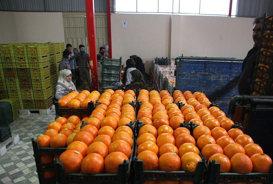 خبرنگاران 450 تن میوه در شهرستان ری توزیع می گردد