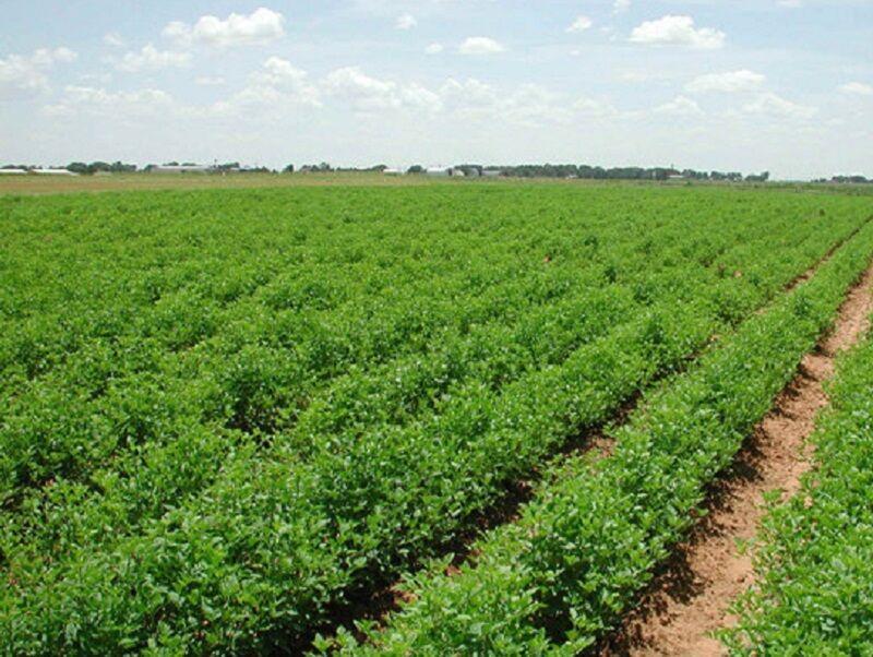 خبرنگاران هواشناسی دزفول: کشاورزان، مزارع را سم پاشی نمایند