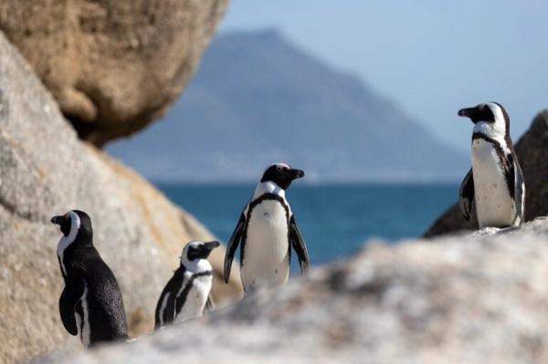 تور آفریقای جنوبی ارزان: بیش از 60 پنگوئن آفریقایی مرده در ساحل بولدرز، آفریقای جنوبی یافت شدند